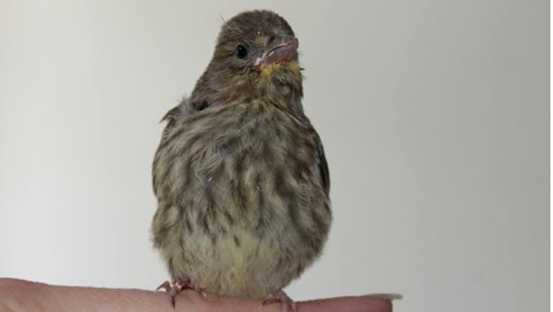 Wissenswertes zur Vogelkrankheit: Grünfink Bestände halbiert