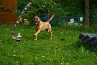 Hund spielt auf der Wiese
