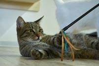 Katze spielt in der Wohnung
