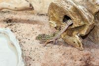 Reptil in Terrarium