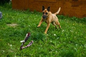 Spielender Hund auf der Wiese
