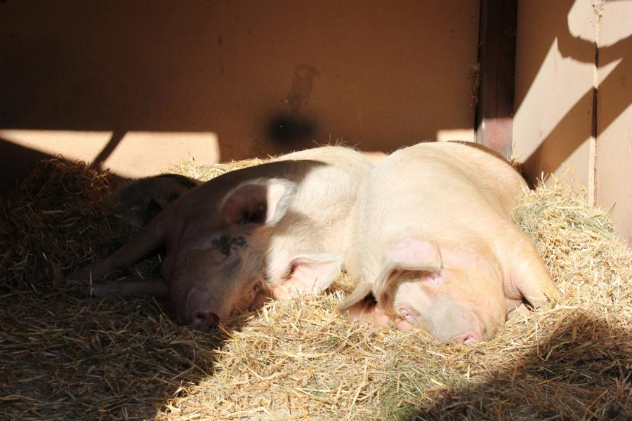 Hilfe für unsere 3 Schweine