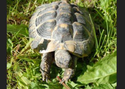 Landschildkröte, Leutasch (05/18)