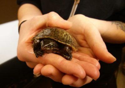 Moschusschildkröte, Ellbögen (11/18)