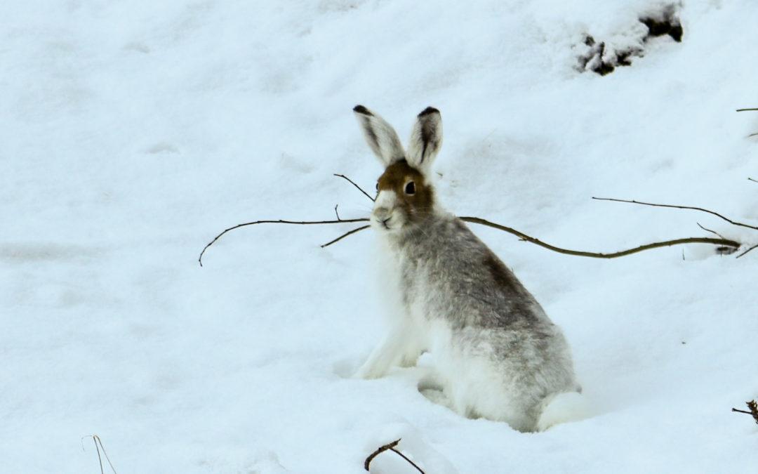 Auswilderung unserer Schneehasen