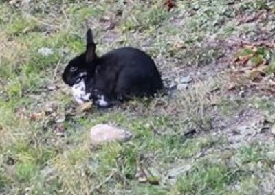 Kaninchen, Ramsau (11/18)