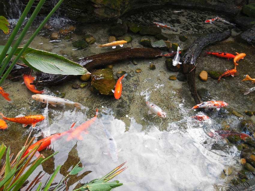 Goldfische – Stumme Gefahr in Tiroler Gewässern
