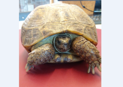 Schildkröte, Götzens