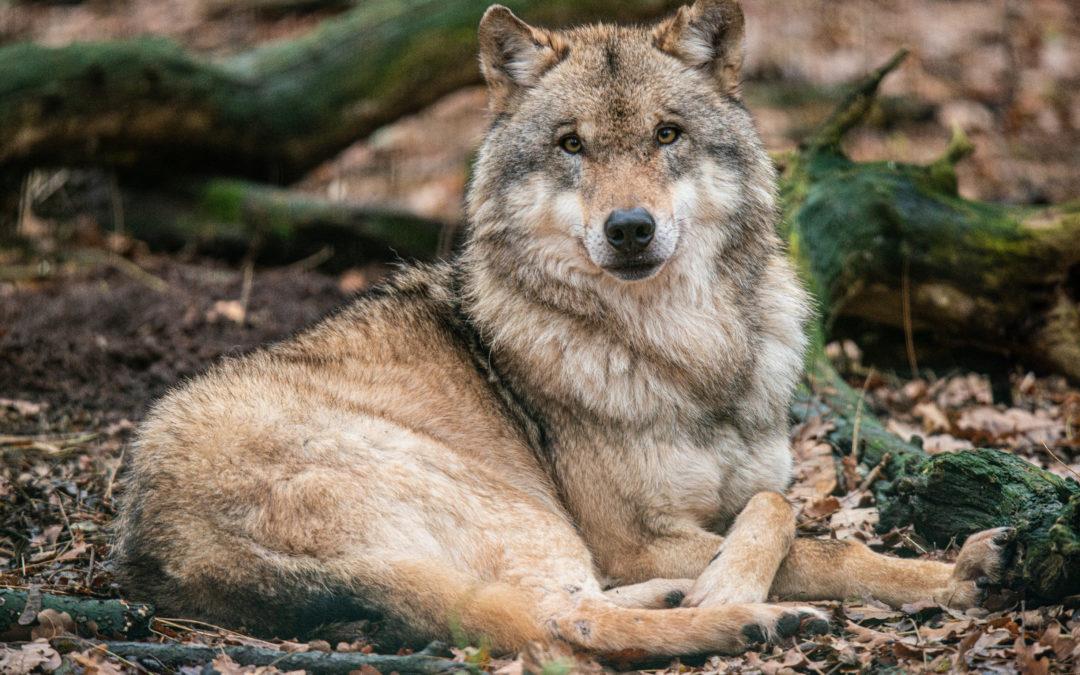 Der Wolf – Kein Kuscheltier, aber auch keine wilde Bestie