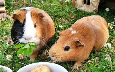 Meerschweinchen und Kaninchen beim Füttern beschäftigen