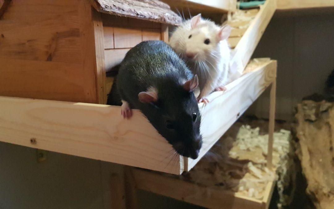 Rattenbuben