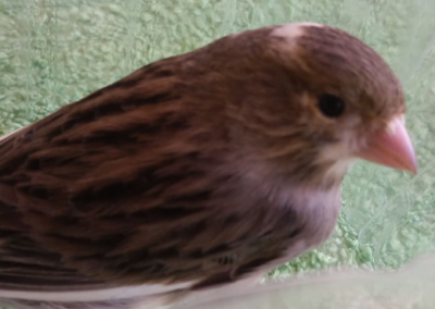 Kanarienvogel, Oberperfuß(04/20)