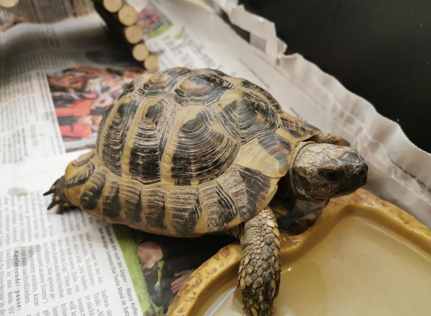 Schildkröte, Schwaz(05/20)