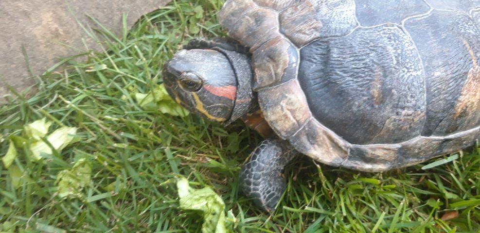 Schildkröte, Oberlangkampfen(05/20)