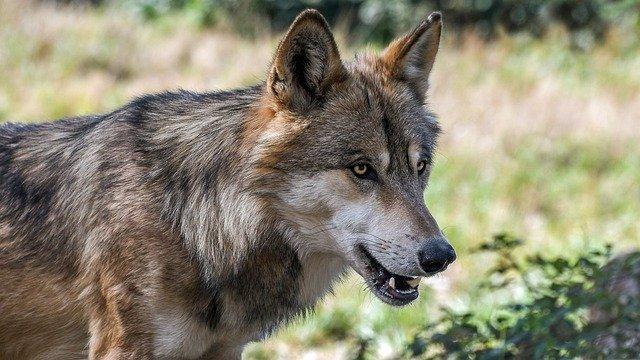 Wolfsmanagement: Herdenschutz und Prozessschutzgebiete als Lösungsansätze