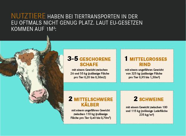 Nutztiere haben bei Tiertransporten in der  EU oftmals nicht genug Platz. Laut EU-Gesetzen kommen auf 1m2: