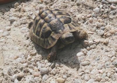 Schildkröte, Ranggen (7/20)