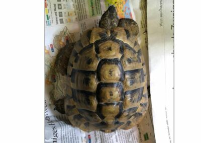 Landschildkröte, Aldrans  (06/2021)
