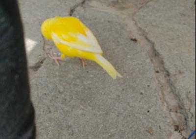 Kanarienvogel, Kufstein (6/21)